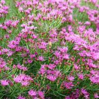 Vernonia 'Iron Butterfly'