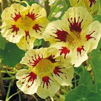 Nasturtium 'Orchid Cream'