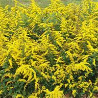 Goldenrod 'Golden Fleece'