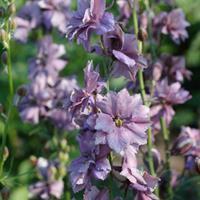 Larkspur 'Misty Lavender'