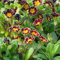 Primrose 'Laced Jack in the Green'