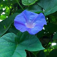 Morning Glory 'Blue Dawn'