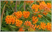 Milkweed - Asclepias