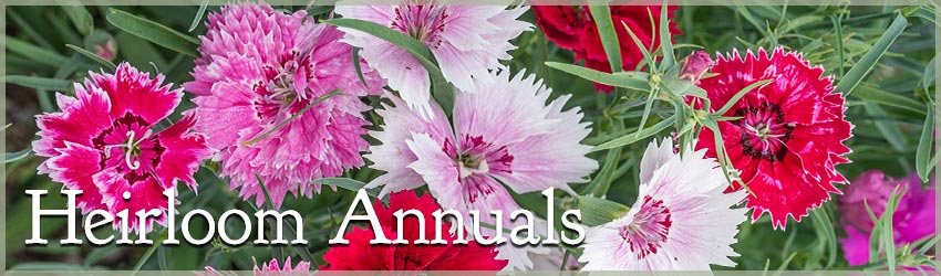 Heirloom Annuals