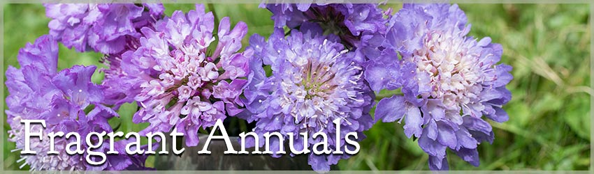 Fragrant Annuals