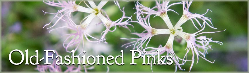 Old-Fashioned Pinks