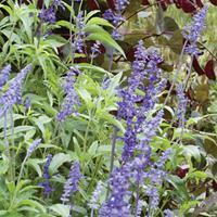 Salvia 'Blue Bedder'