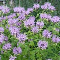 Bee Balm 'Claire Grace'