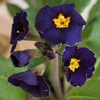 Primrose 'Midnight'