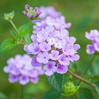 Lantana 'Trailing Lavender'