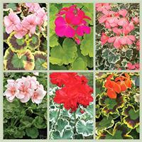 Heirloom Geranium Plant Collection