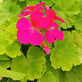 Geranium 'Persian Queen'