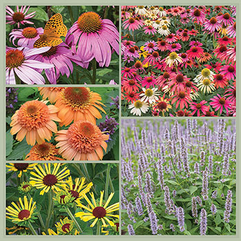 Butterfly Meadow Coneflower Plant Collection