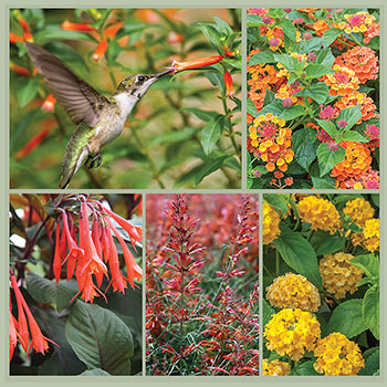 Hummingbird Brilliance Container Plant Collection