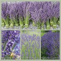 Lavender Plant Collection