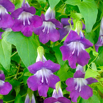 Asarina 'Mystic Purple'