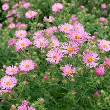 Aster 'Honeysong Pink'