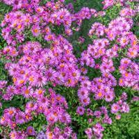 Aster 'September Ruby'