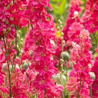 Larkspur 'Fancy Rose Striped'