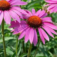Coneflower 'Ruby Star'