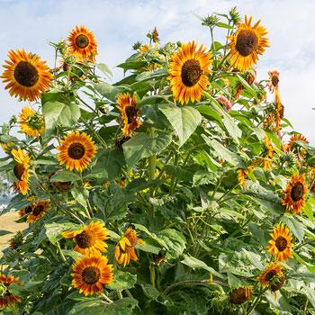 Sunflower 'Evening Sun' Organic