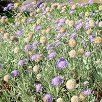 Scabiosa columbaria 'Pincushion Blue'