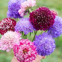 Sweet Scabious 'QIS Mix'