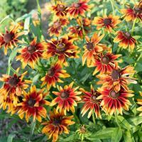 Rudbeckia 'Chocolate Orange' Organic