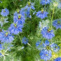 Love-in-a-Mist 'Miss Jekyll Dark Blue'