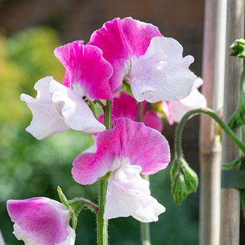 Sweet Pea 'Route 66'