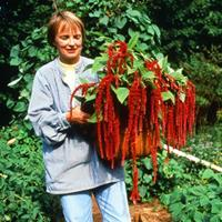Amaranth 'Love Lies Bleeding'