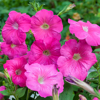 Petunia 'Rose of Heaven'