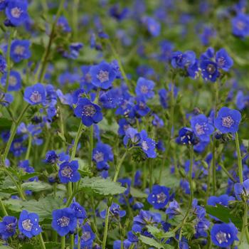Phacelia 'Blue Rhythm'