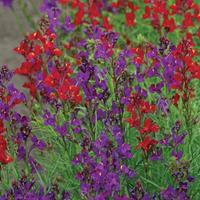 Linaria 'Rhythm & Blues'