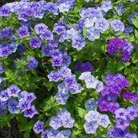 Phlox 'Moody Blues'