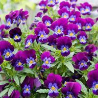 Viola 'Spring Carpet'