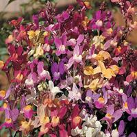 Linaria 'Northern Lights'