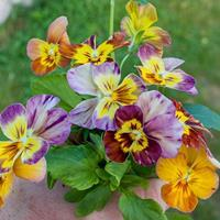 Viola 'Brush Strokes'