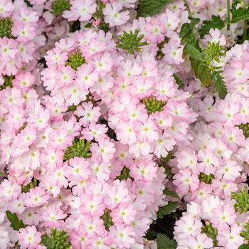 Verbena 'Firehouse™ Light Pink'
