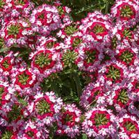 Verbena 'Obsession Twister Red'