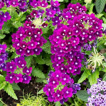 Verbena 'Quartz XP Purple'