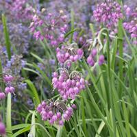 Allium - Nodding Pink Onion