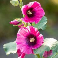 Hollyhock 'Halo Cerise'