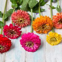 Zinnia 'Benary's Giant Mix' Organic