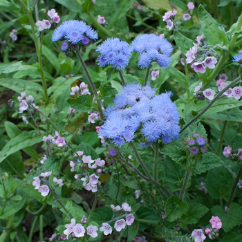 Ageratum 'Blue Bouquet' Organic
