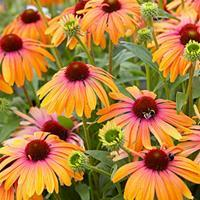 Coneflower Butterfly™ 'Rainbow Marcella'