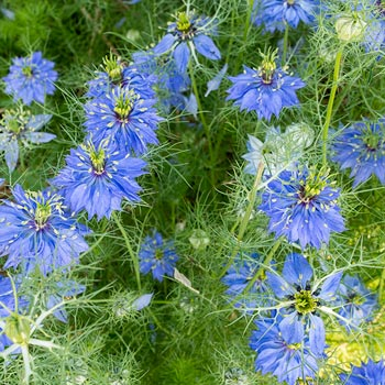 Love-in-a-Mist 'Miss Jekyll Dark Blue' Organic