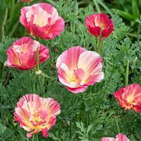 California Poppy 'Rose Chiffon'