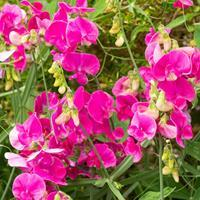 Everlasting Pea 'Red Pearl'