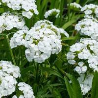 Sweet William 'Albus'
